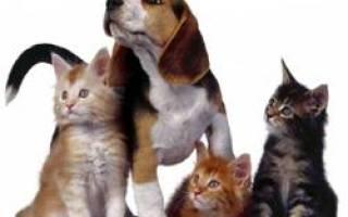 Дирофиляриоз — Текущее руководство для кошек