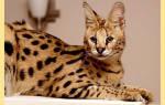 Кошки породы саванна — Кот Обормот