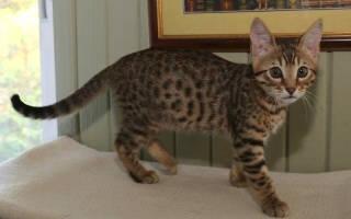 Серенгети история внешность и характер кошки