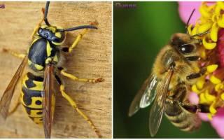 Оса и пчела — различия и сходства, фото