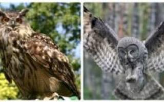 Чем отличается филин от совы