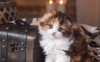 Твердый живот у котенка – это нормально?