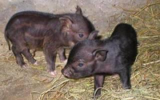 Болезни вьетнамских вислобрюхих свиней