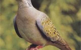 Дикий голубь горлица