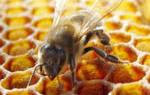 Как лечить пчел отравление и понос у пчел