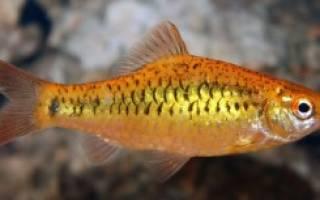 Золотые рыбки и барбусы