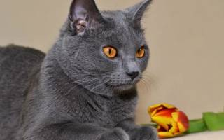 Самые здоровые породы кошек с фотографиями