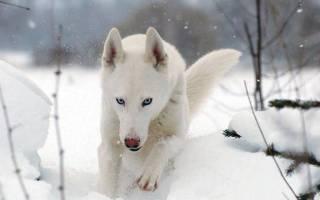 Белый хаски описание породы и е окрасов