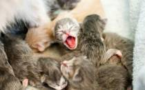 Сколько сосков у кошек и котов