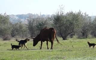 Как вылечить лишай у коров