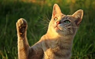 Что делать если у кота опухла лапа?