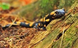 Содержание саламандры дома