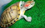 Определение пола красноухих черепах