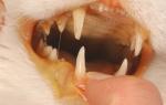 Желтуха у кошек симптомы и лечение