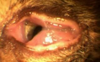 Герпесвирусное поражение глаз у кошек