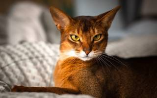 Особенности содержания абиссинской кошки