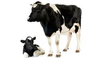 Что такое молозиво. Состав молозива коровы