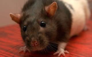 Болезни Крыс и Мышей Домашних Декоративных