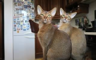 Порода кошек похожая на леопарда