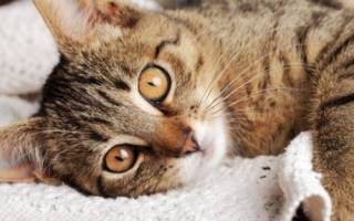 Что делать если у кота ФИП