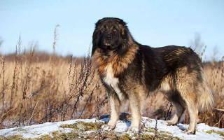 Особенности характера кавказской овчарки