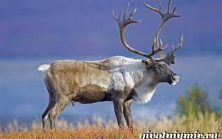 Жизнь северных оленей