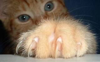 Следует ли стричь когти кошке