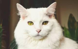 Как долго длится память у кошек