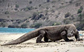 Самая большая ящерица в мире — Topkin
