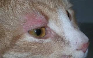 Волдыри и Пятна у кошек