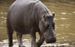 Бегемот животное. Образ жизни и среда обитания