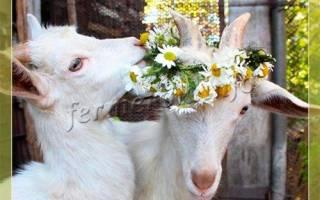 Кормление и содержание молочных коз