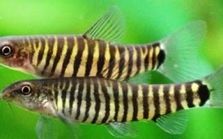 Рыбки боции боция карликовая