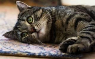 Лимфома у кошек и котов лечение симптомы