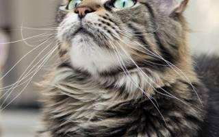 ТОП-8 причин, почему коты и кошки урчат