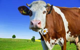Сглаз коровы как уберечь корову от сглаза
