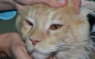 Панофтальмит у котов