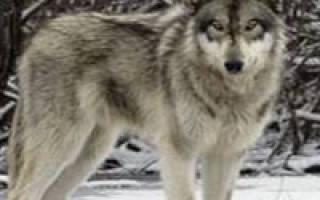 Как живут волки зимой