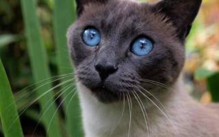 Корнеальный секвестр у кота