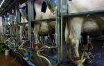Как повысить удой коров