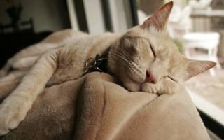Как усыпить кошку на дому или в ветлечебнице