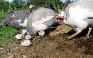 Сколько дней высиживают яйца цесарки