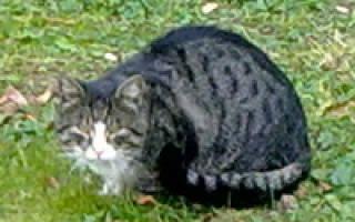 Камни в мочевом пузыре у кошек