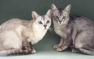 Бурмилла – чем особенны кошки этой породы?