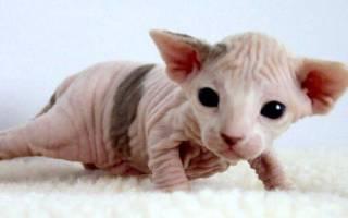 Роды у кошек сфинксов — Мир кошек