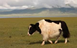 Гибриды животного мира яки коровы
