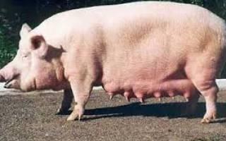 Фото мастита у свиноматок — Женское здоровье