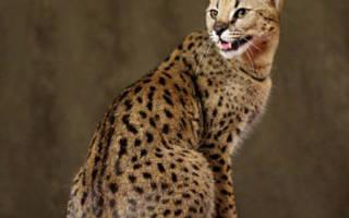 Кошка Саванна, Сервал: «мини-гепард» в доме