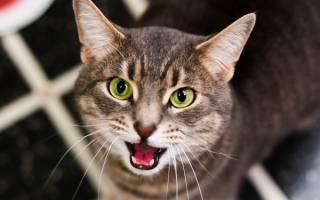 Язык кошки: как понять питомца
