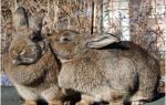 Случка кроликов график случки